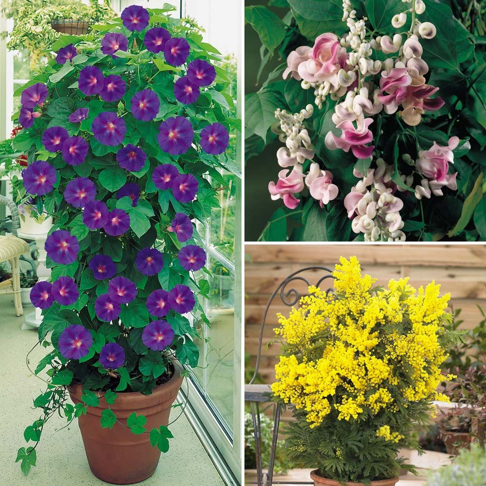 evergreen climbing plants for containers