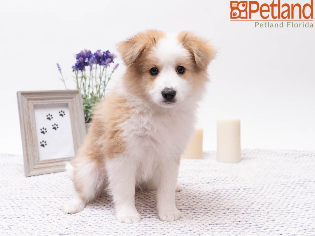 Petland Florida Has Aussiemo Puppies For Sale Check Out All Our Available Puppies Aussiemo Petlandkendall Petland Puppy Friends Puppies Puppies For Sale