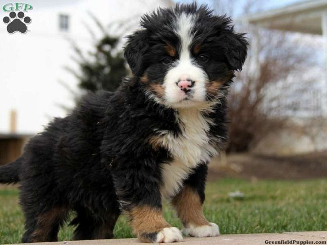 Bernese Mountain Dog Mix With Poodle Dog Mixes Bernese