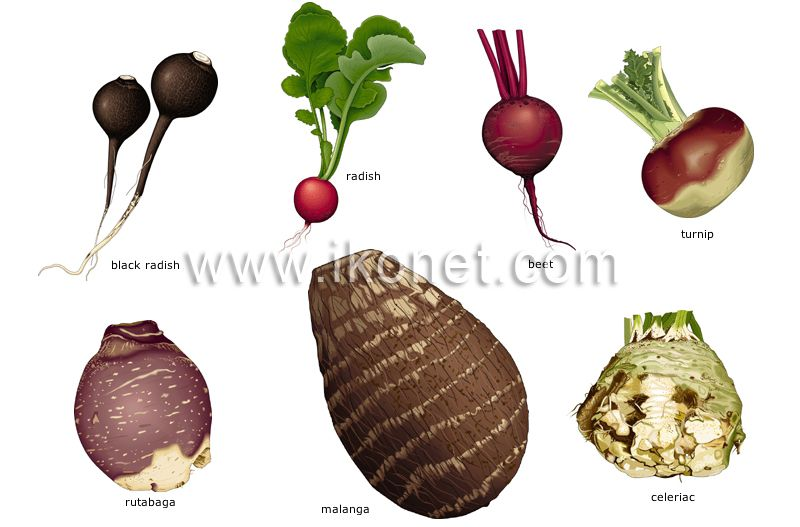 Root Vegetables Root Vegetables The Fleshy Roots Of Edible