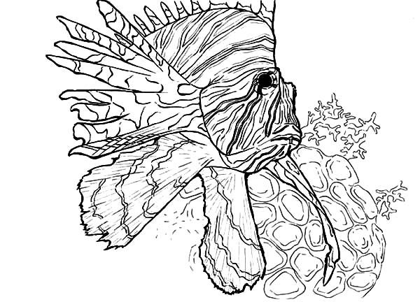 Lionfish Swim Near Coral Reef Coloring Pages Batch