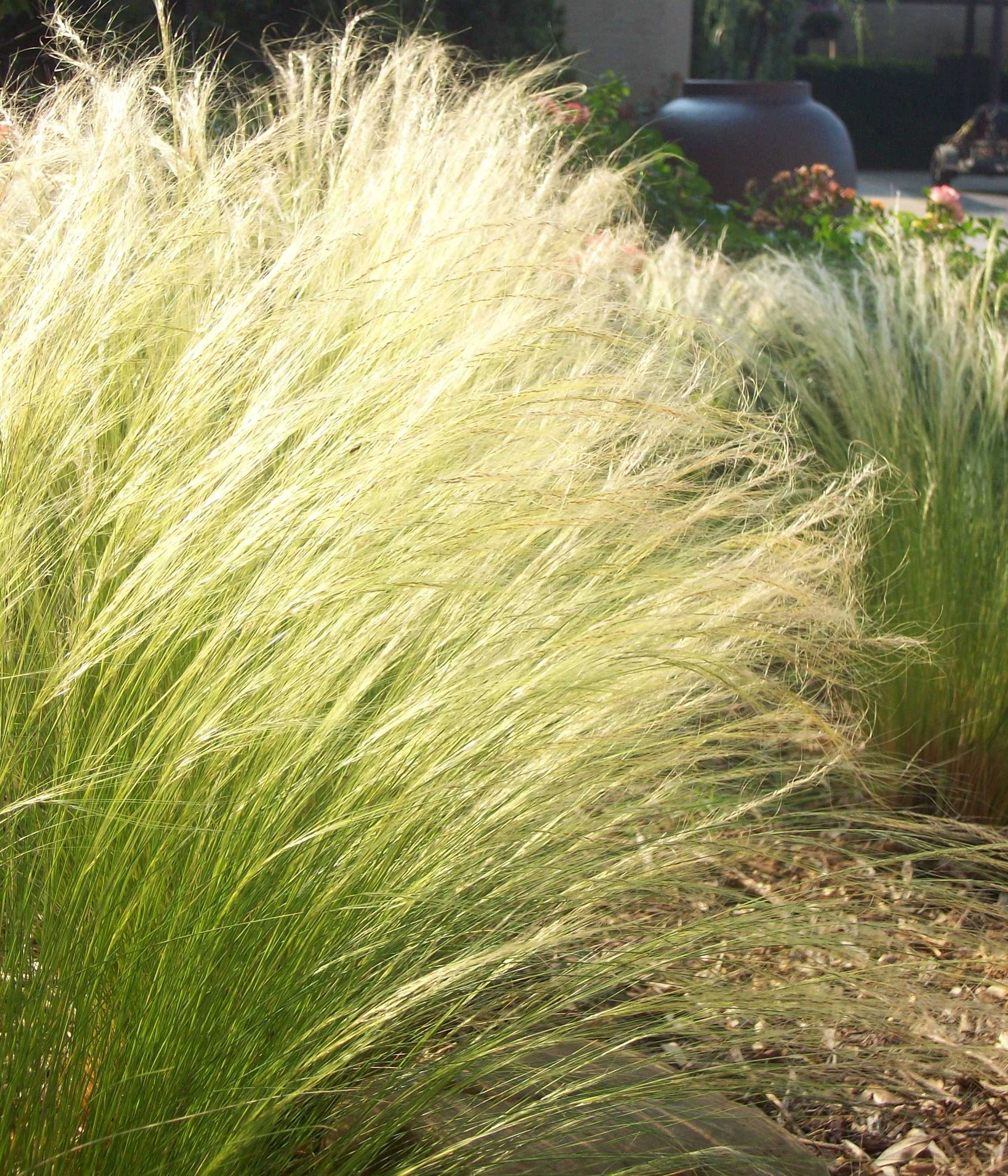Tough And Beautiful Ornamental Grasses For The Water Wise Garden Texas Native Landscaping Mexican Feather Grass Feather Grass