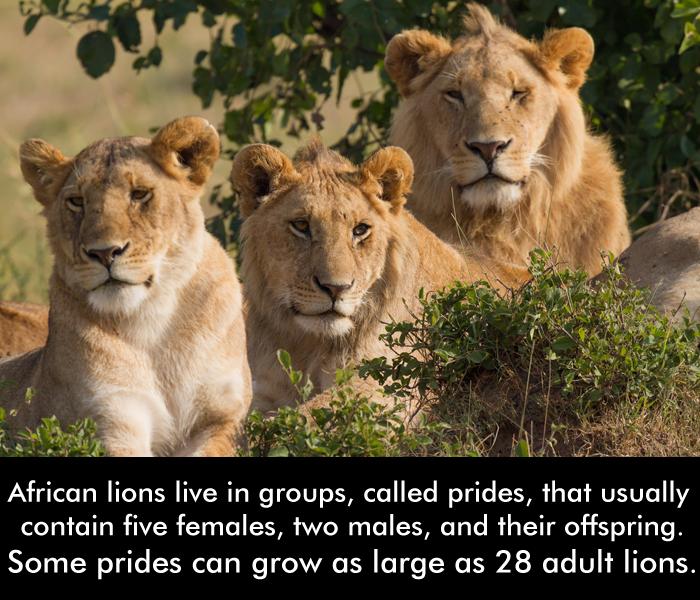 #AfricanLions #AmazingFacts #Prides #AnimalsKnowledge