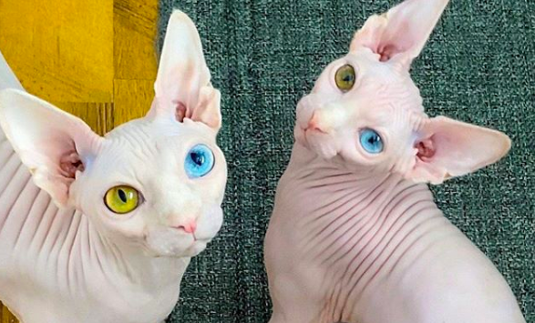Sphynx Cats Mocked For Their Unusual Appearance Find Love On Instagram In 2020 Sphynx Cat Hairless Cat Animals Beautiful