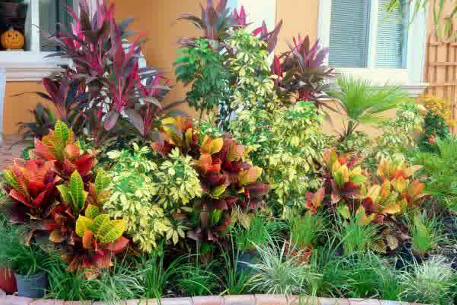 Croton tropical plants landscaping landscaping and for Exterior plants landscaping
