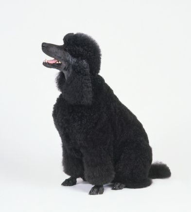 Black Standard Poodle Sitting With Head In Profile Panting