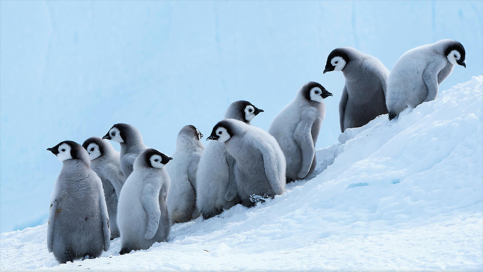 Adorable Baby Penguins In Snow Penguin Wallpaper Penguins Baby Penguins