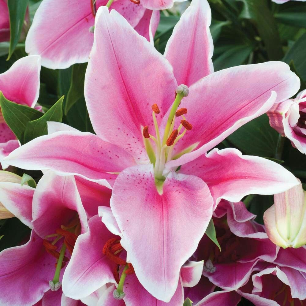 Pin by kelly saar on pink pinterest lily flowers and lily bulbs lily meaning lilies flowers asiatic lilies bulb flowers paper flowers lily izmirmasajfo