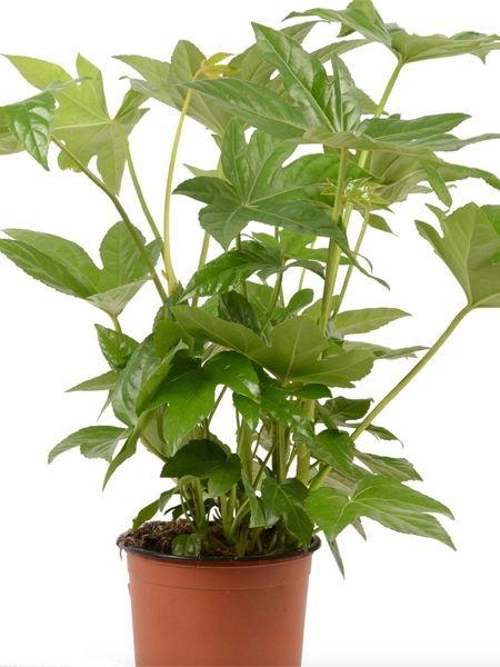 Zimmerpflanzen Für Dunkle Standorte zimmerpflanzen für dunkle räume zimmeraralie fatsia japonica