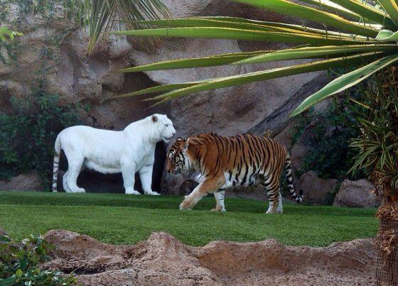 Siberische tijger en albino  - Albino Animals - #Albino #Animals #Siberische #tijger #albinoanimals