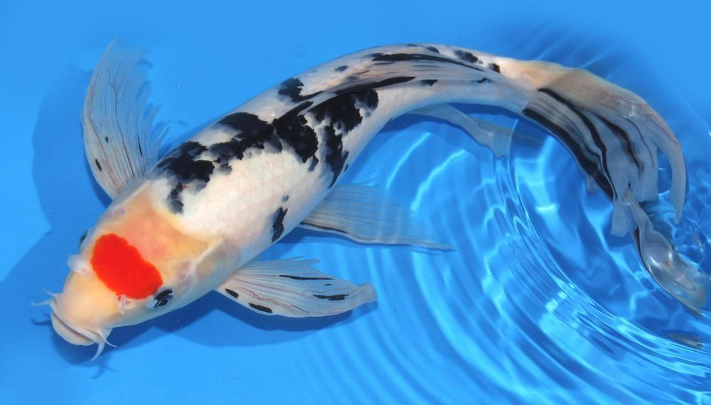 Live koi fish big huge 15 16 tancho sanke butterfly red for Red and white koi fish
