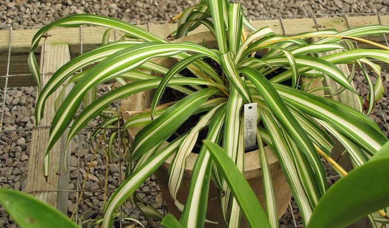 Spider Plants Are Safe For Dogs The Best Low Maintenance Pet Friendly Houseplants Plants Indoor Shade Plants Spider Plants