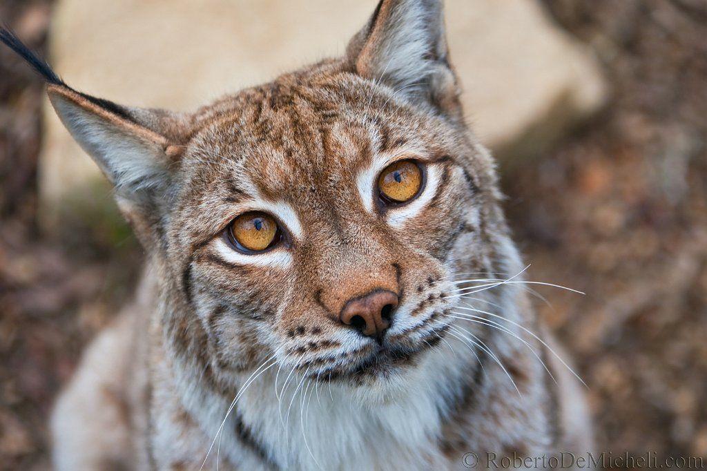 Eurasian lynx kittens cat, predator, fur, eurasian