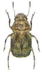 Anthribidae Australische Region Insects Beetle