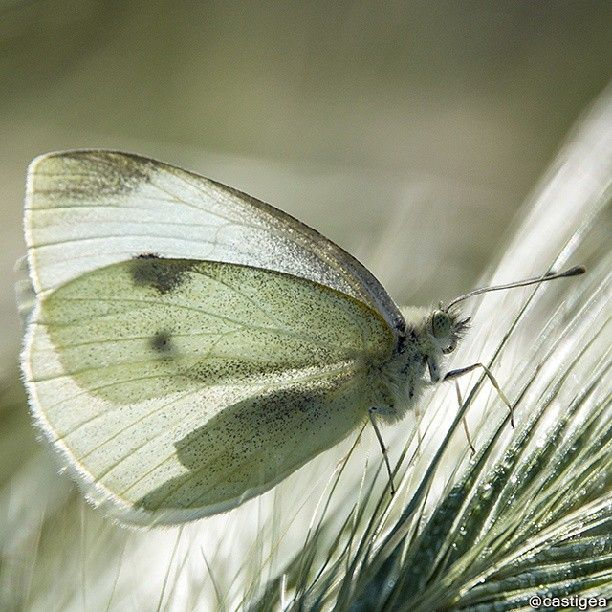 Mariposa posada sobre una espiga de cereales, macrofotografía en el Alt Urgell. // Butterfly resting on an ear of grain, macro in Alt Urgell.