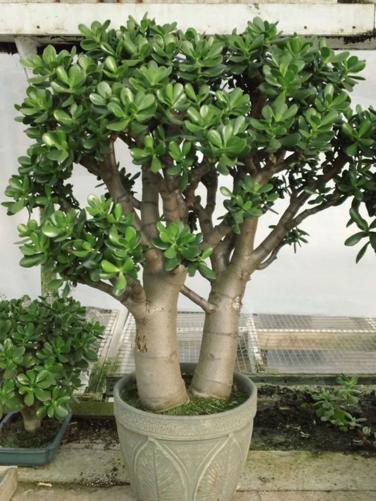 Crassula Ovata Jade Plant Avec Images Crassula Plantes Jade