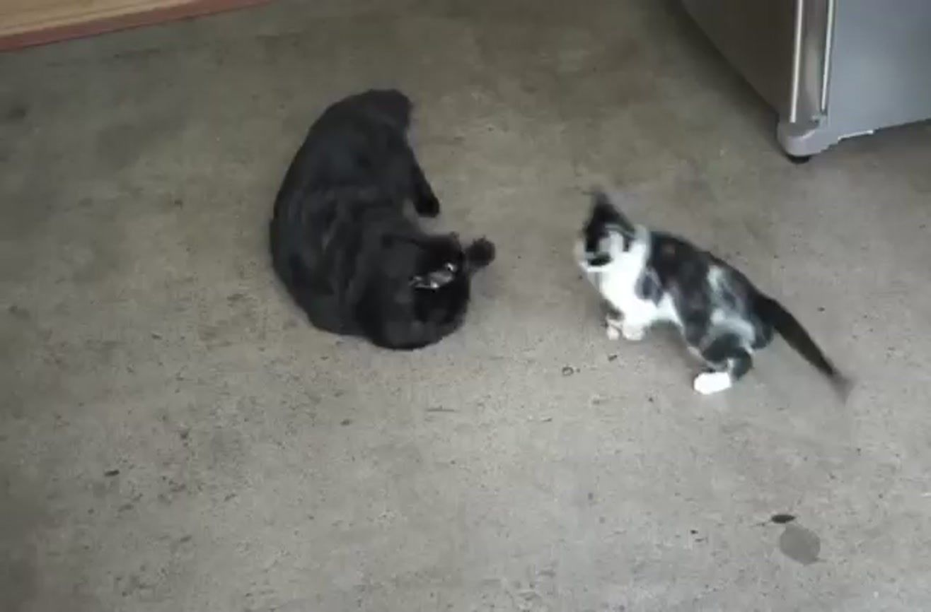 How To Introduce Two Cats To Each Other Cats Black Cat Kitten