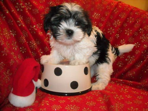 Toy Morkie Boy Yorkie Maltese Designer Mix Parti Color Morkie Yorkie Cute Dogs