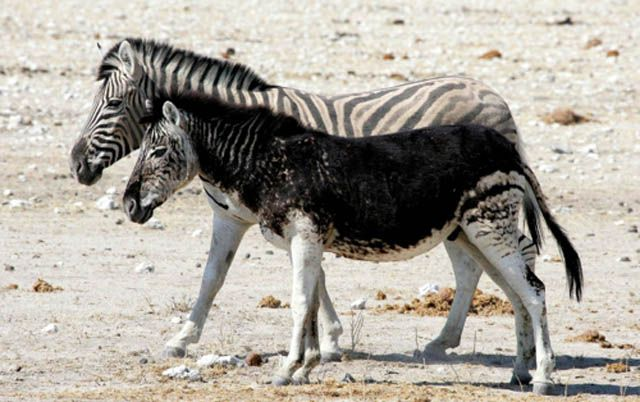 Melanistic Zebra Melanism Melanistic Melanistic Animals