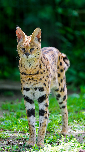 Hypoallergenic Siberian Cats Siberian Cat Breed