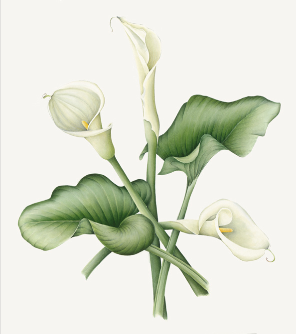 Yellow Transparent Calla Lilies Flowers Clipart Yellow Calla Lily Flower Lily Flower Calla Lily Calla Lily Flowers