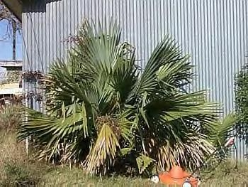 Want A Tropical Look Here Are Palms And Other Plants That Are