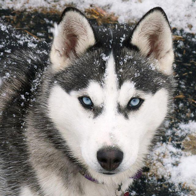 أفتراس On Instagram معلومات عن الكلب اليبيري او الهاسكي هسكي سيبيري ذكر هسكي سيبيري بمعطف أبيض وأسود Siberian Husky Dog Husky With Blue Eyes Siberian Husky