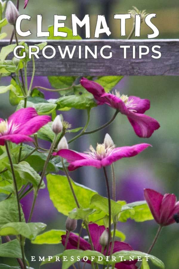 Photo of Top Clematis Growing Tips