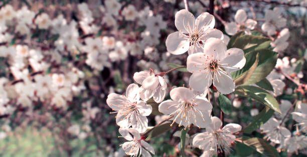Cherry blossom in retro tone spring flowers background cherry tree cherry blossom in retro tone spring flowers background cherry tree mightylinksfo