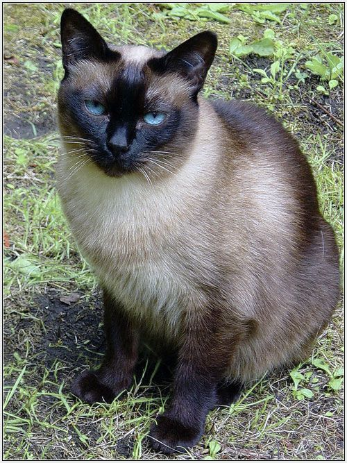 American Siamese I Want Looks Like A Cat I Had When I Was Young Seal Point Siamese Cats Funny Siamese Cats Cat Pics