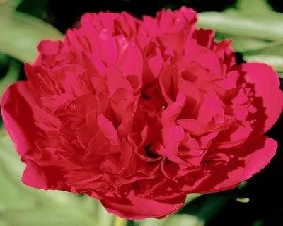 Peony Diana Parks - Early Hybrid, double red, sunfast, splendidly textured fire-engine red blossoms with fully formed rounded guard petals, pleasingly fragrant, good cutflower, a real eye catcher,(Bockstoce 1942) - www.peonyshop.com