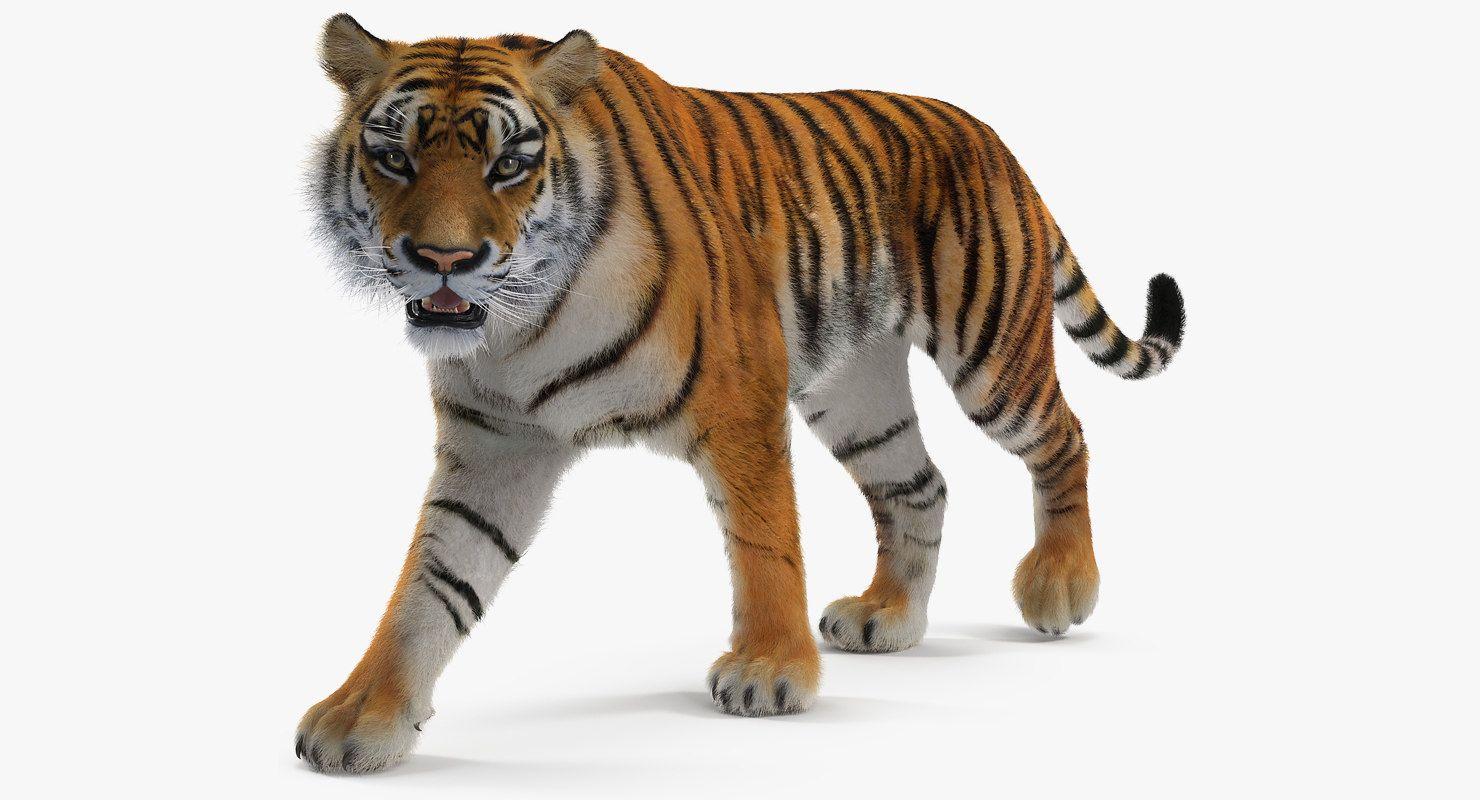 Tiger Walkig Pose Fur 3d Model 3d Model Tiger Poses