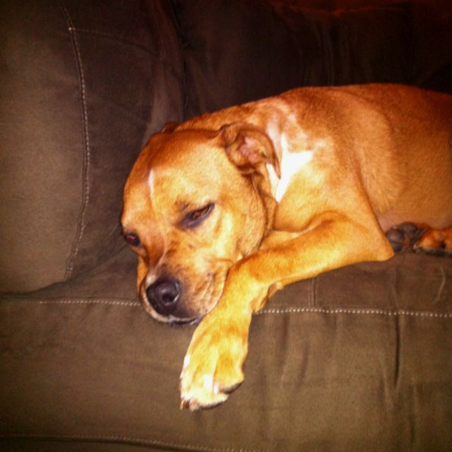 One tuckered out Baussie (Boxer/Austailian Shepard