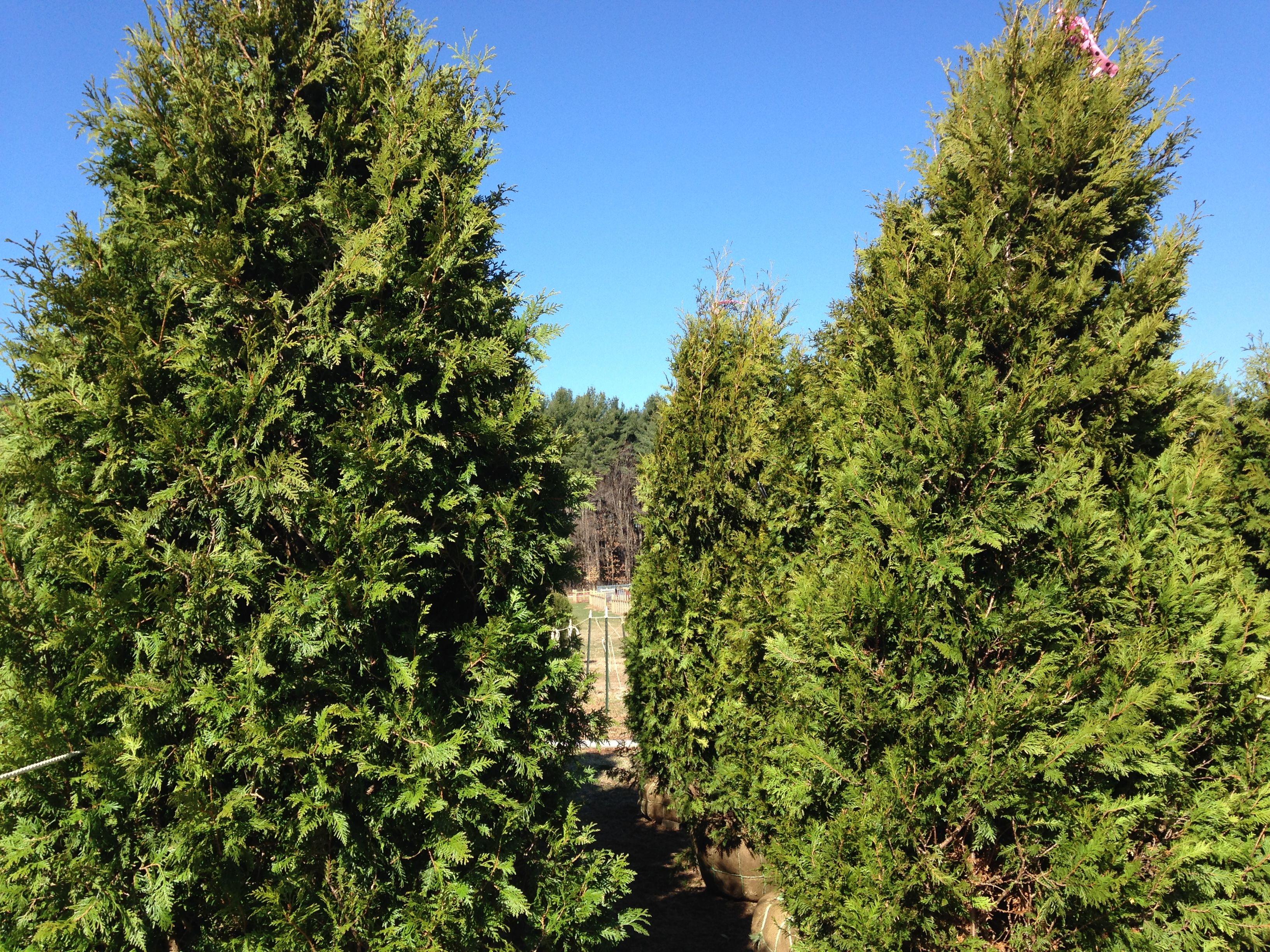 Landscape Shrub Screens - Cornus Kousa Privacy Hedge - Exterior