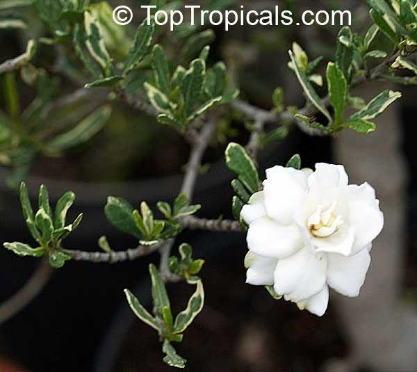 Gardenia radicans 'Variegata' Variegated Dwarf Gardenia ...Gardenia Jasminoides Radicans Variegata