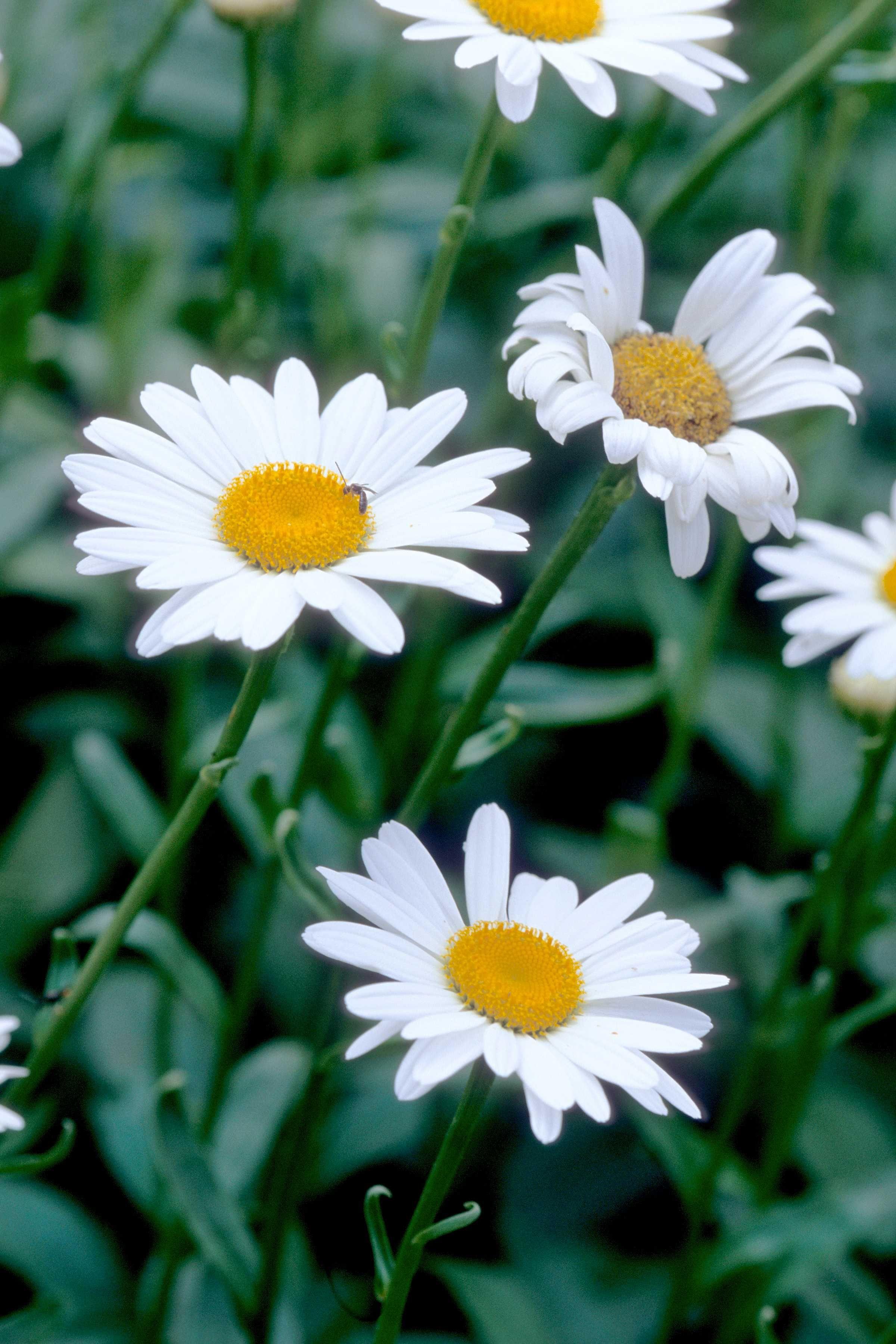 Becky Shasta Daisy Flowering Perennials Pinterest Perennials