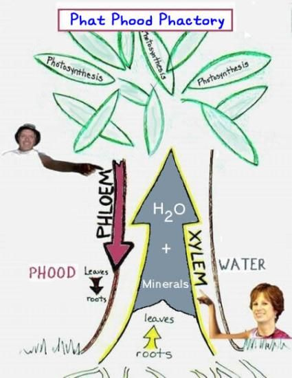 Xylem And Phloem Diagram Plant Systems Ch 2 Pinterest Diagram