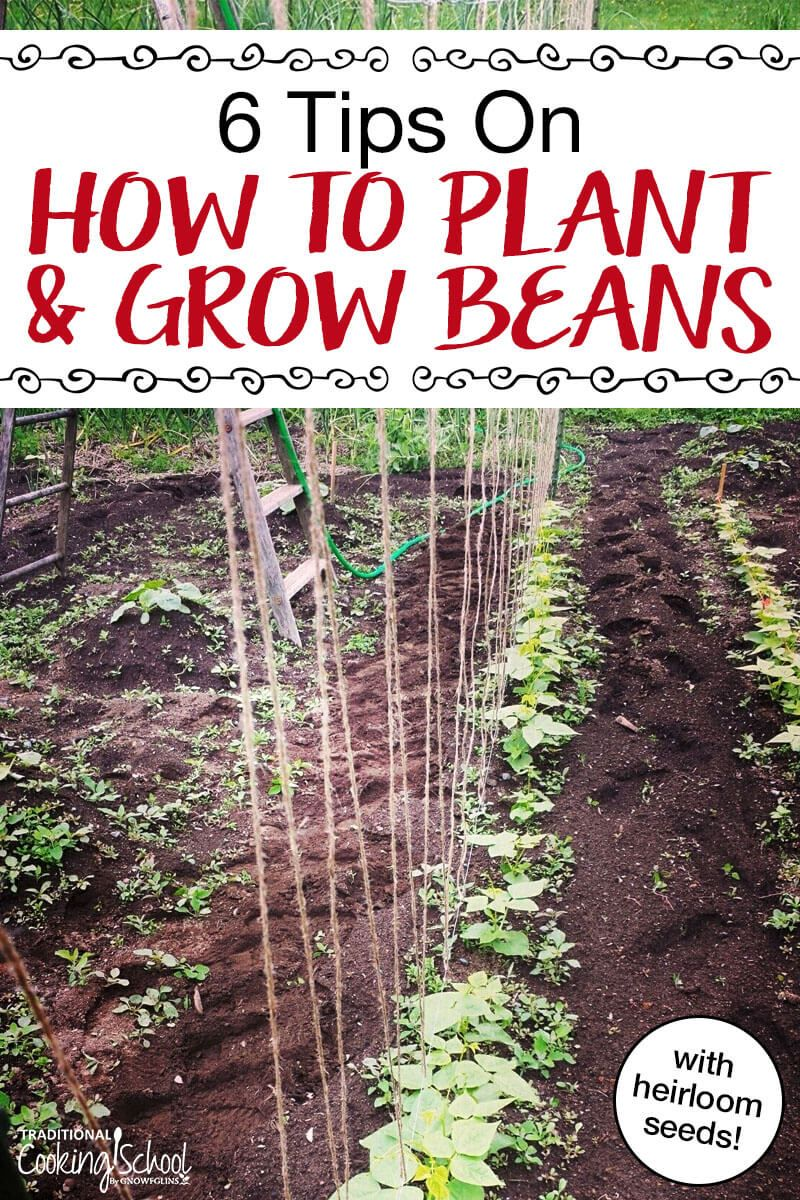 How To Grow Green Beans 6 Tips Growing Green Beans Green Beans Garden Bean Garden
