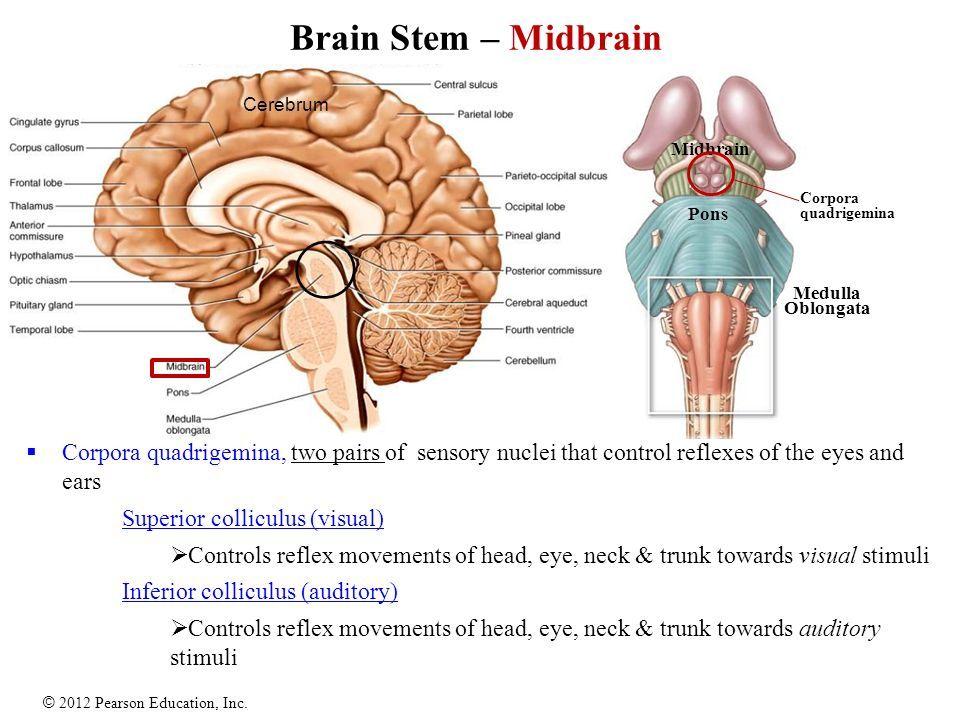 Brain Stem - Midbrain   A&P   Pinterest