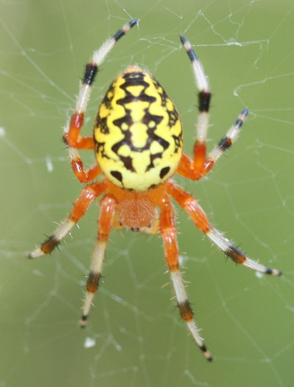 Spider pic! Apologies in advance. | Spider and Animal