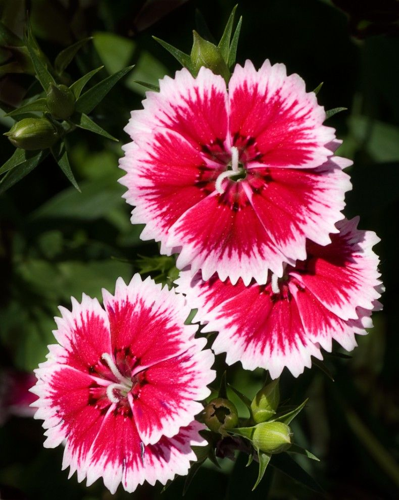 Clavelitos Chinos Chinese Carnation Carnations Flowers Dianthus Flowers Flowers Perennials Pretty Flowers