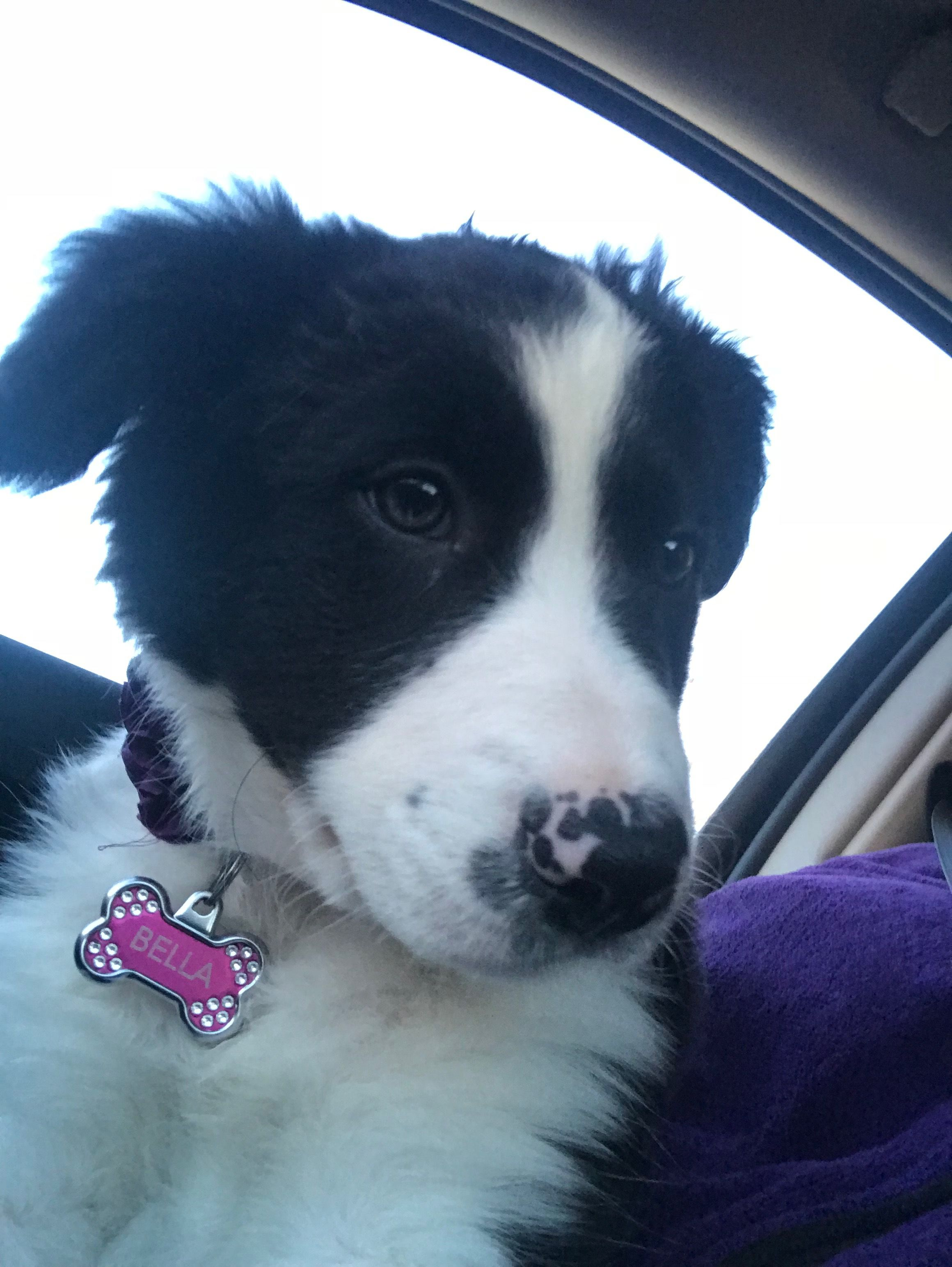 3 Month Old Border Collie Bella Dog Quotes Border Collie