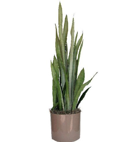 sansevieria silver queen planting flora pinterest snake plant plants and planting. Black Bedroom Furniture Sets. Home Design Ideas