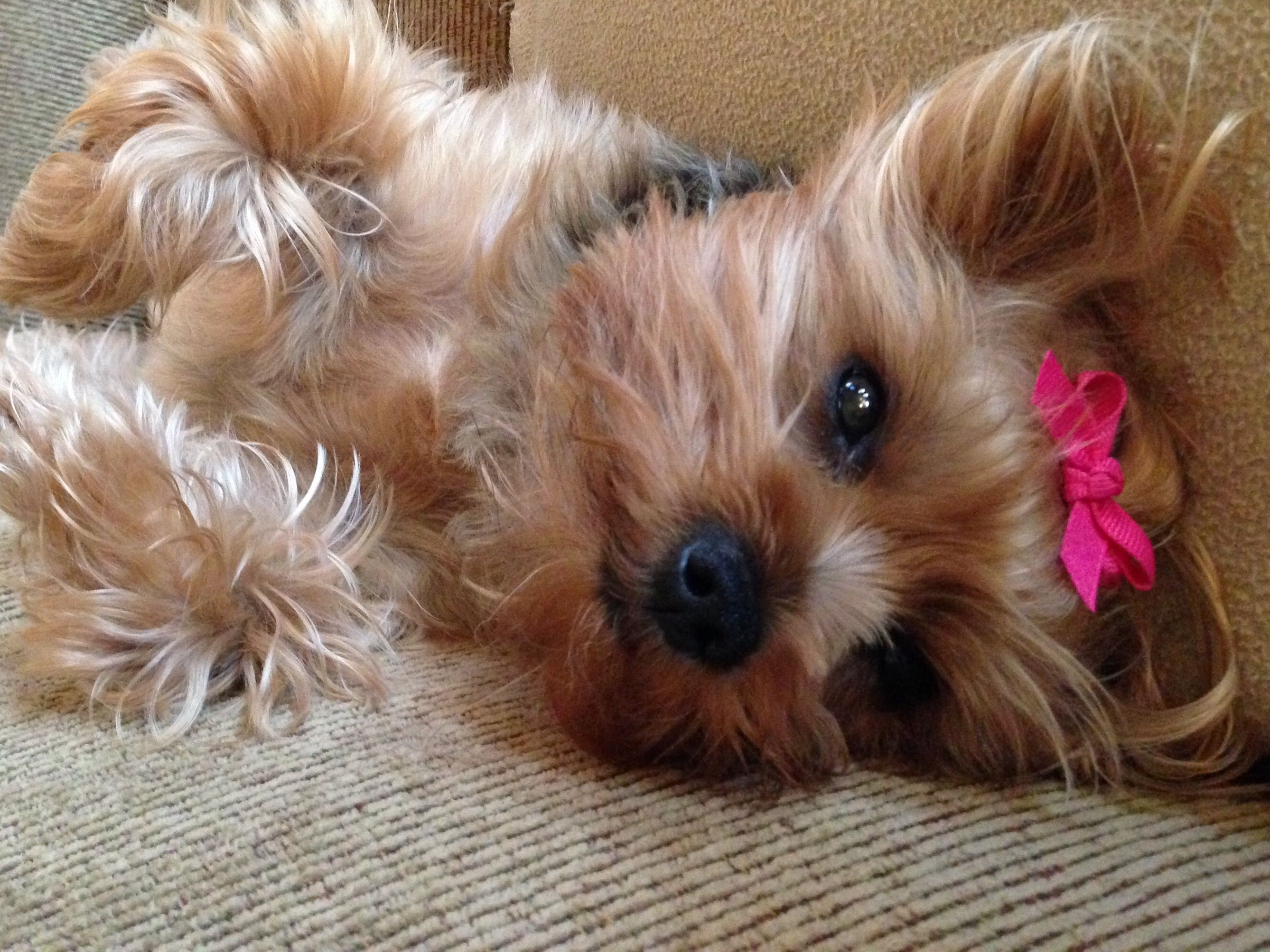 My Sweet Gucci Yorkie Terrier Pet Dogs Puppies Yorkie