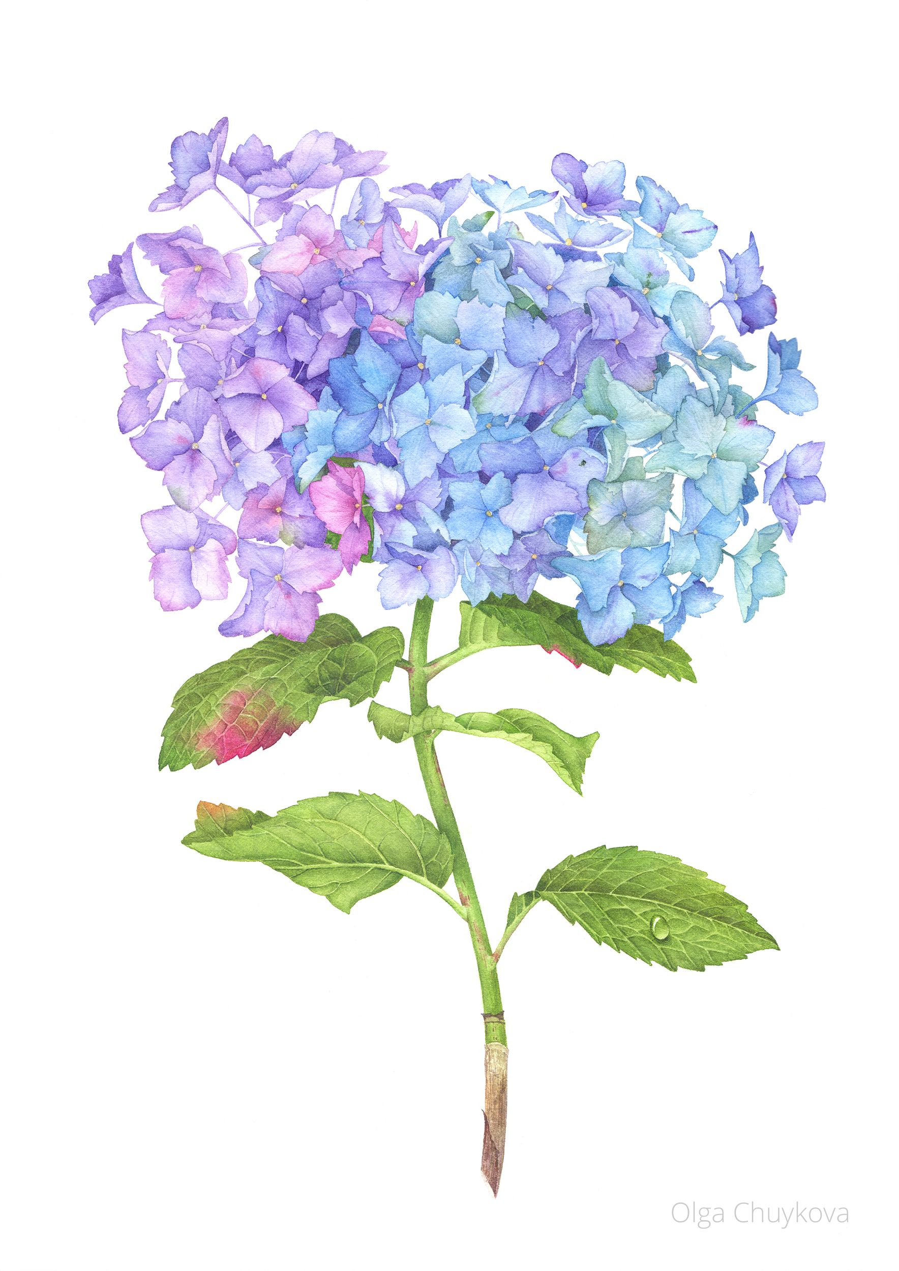 Beautiful detailed hydrangea flower picture painting ideas