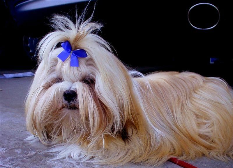 Lhasa Apso Fun Facts And Crate Size Lhasa Apso Lhasa Dog Breeds