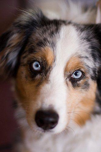 Miniature Australian Shepherd Puppy So Cute Cute Animals Cute Dogs Baby Animals