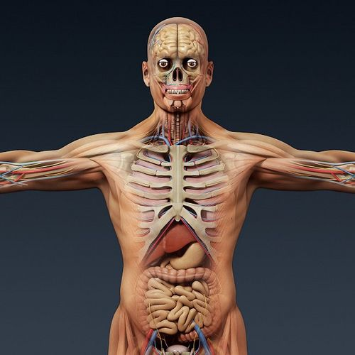 This Is Image Human Anatomy 3d Model On Cgtrader Marketplace An