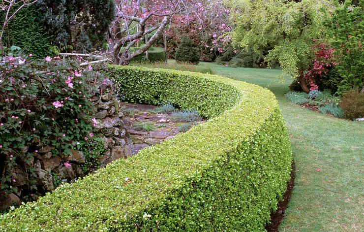 How To Grow Lush Boxwood Hedges Worthy Of Your Garden Boxwood Hedge Boxwood Landscaping Hedges