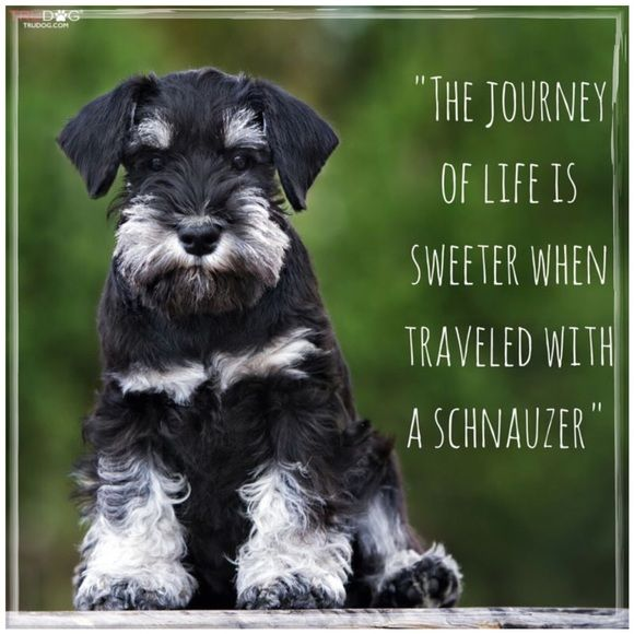 My Schnauzers Are The Best With Images Schnauzer